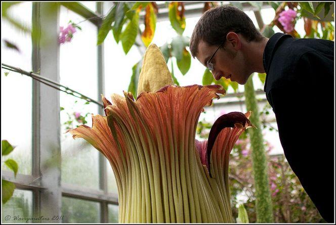 Аморфофаллус титанический — красивое растение с дурным запахом