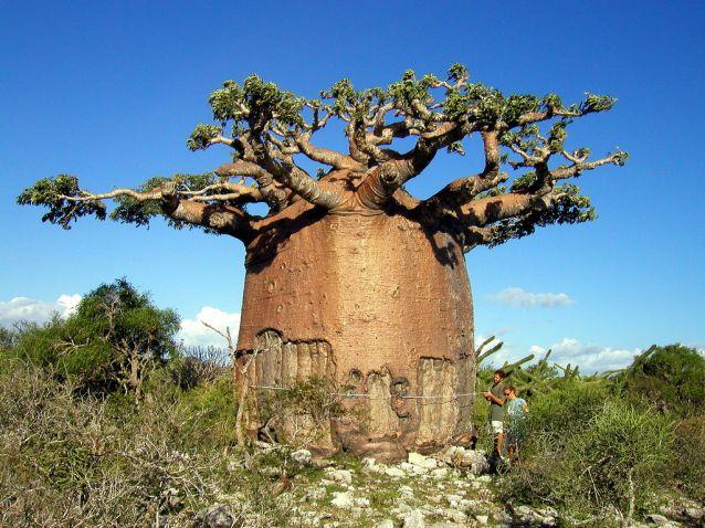 Баобаб — символ Мадагаскара