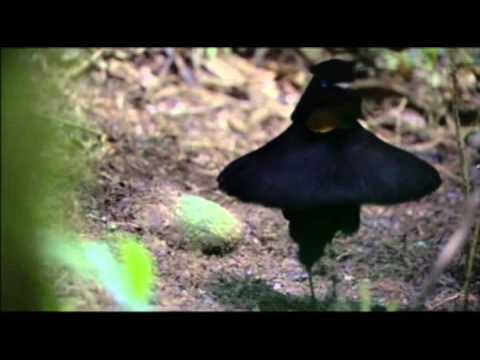 Райские птицы — экзотические птицы населяющие Новую Гвинею и Австралию